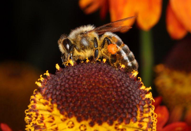 Bee macro 3 31/07/2011