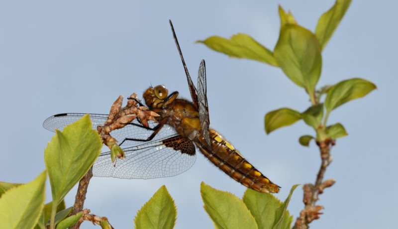 Broad Bodied Chaser 1