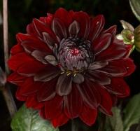 2-frame macromosaic Black Dahlia