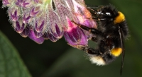 Bee on Comfrey