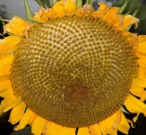 Sunflower macromosaic