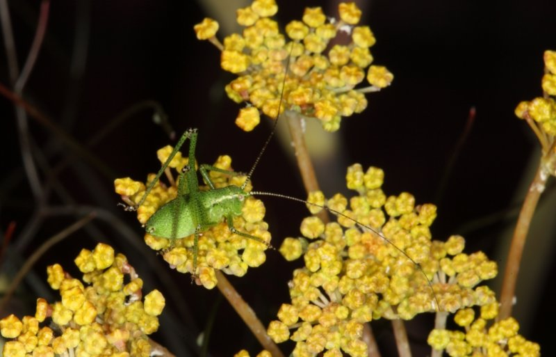 Cricket in Fennel