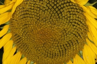 Sunflower 1 31/07/2011