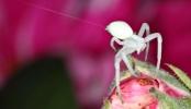 Crab Spider 1