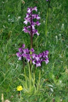 Green_Winged Orchid in a local garden