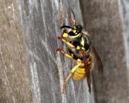 Hornet collecting Teak pulp