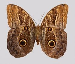 Owl butterfly macromosaic