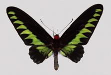 Papilio Ulysses macromosaic
