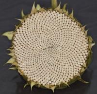 Sunflower seed-head