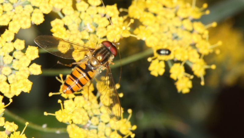 Hoverfly 22/07/2011