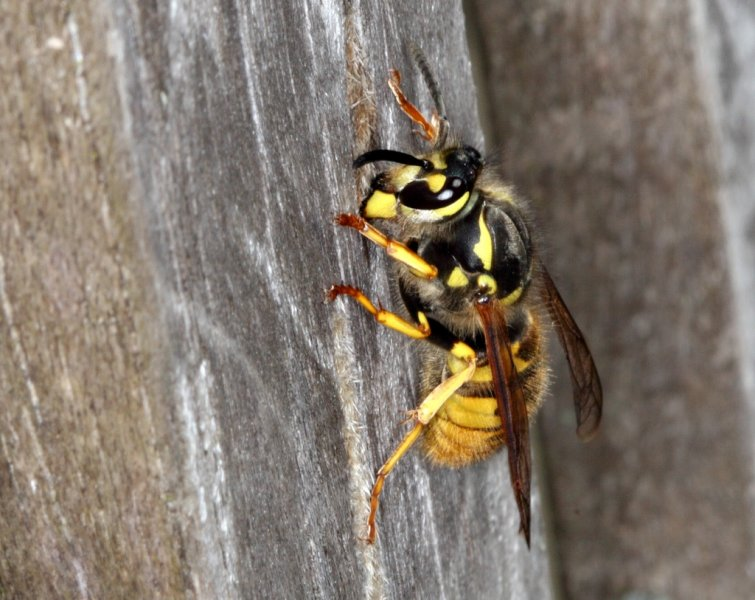 Hornet collecting Teak pulp