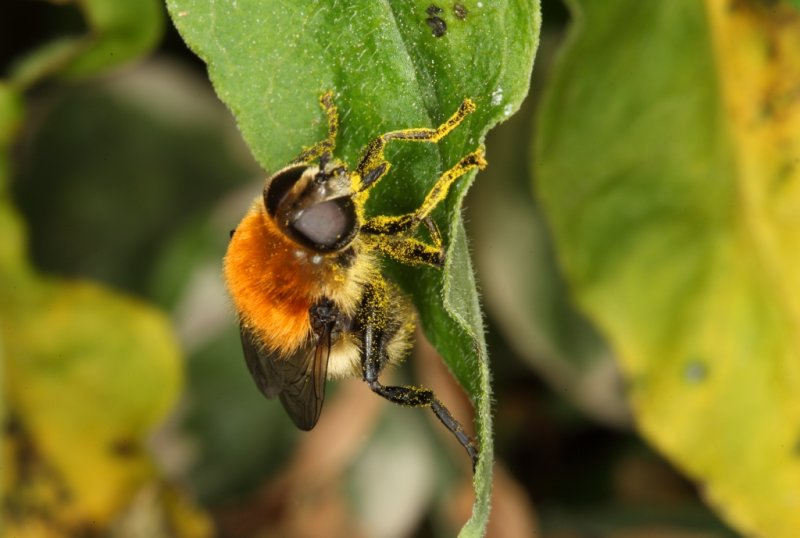 Bee on leaf