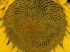 Sunflower 1 31/07/2011