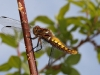 Broad Bodied Chaser 2