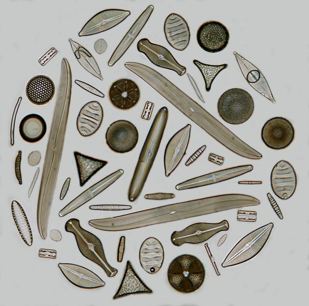 Diatom Exhibition slide x200