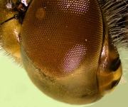Dragonfly eye region