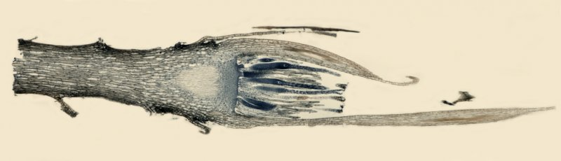 Moss Archegonia 8-frame x40