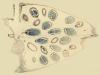 Capsella old embryo 8-frame x20