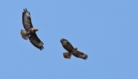 Buzzards over the New Forest Observatory