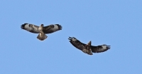 Buzzards over Brockenhurst
